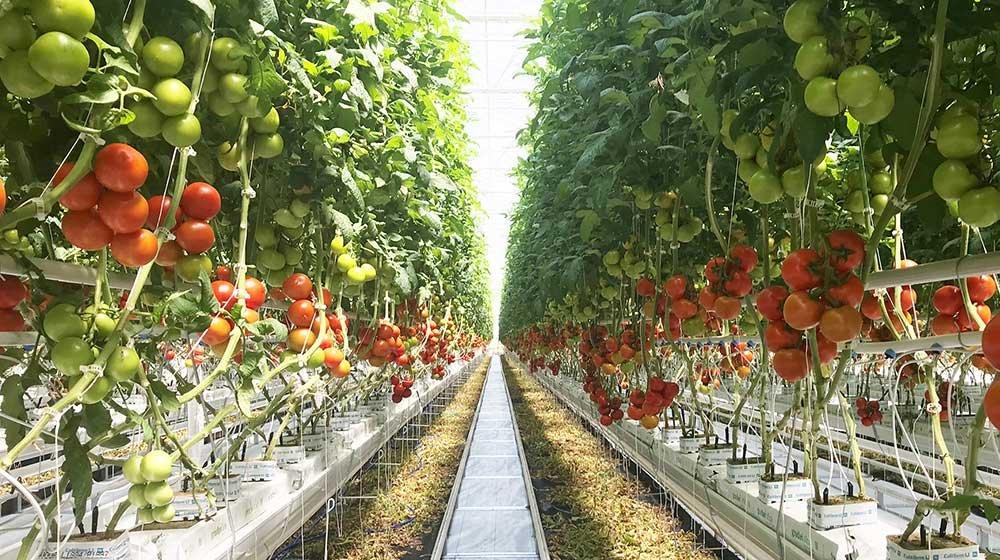 ohio tomatoes towering index image