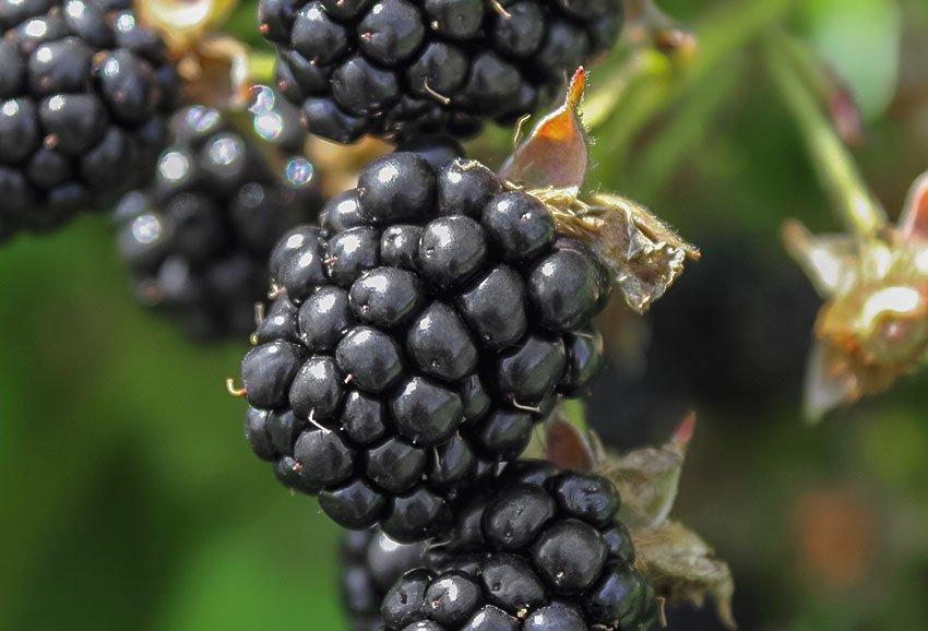Smuccies-Blackberries_TOP-LEFT_img_rev7.jpg