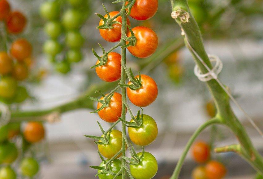 tomato x gallery top left