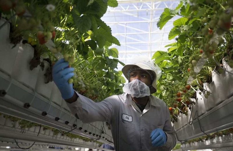 Employee O'Neil Francis picks strawberries.