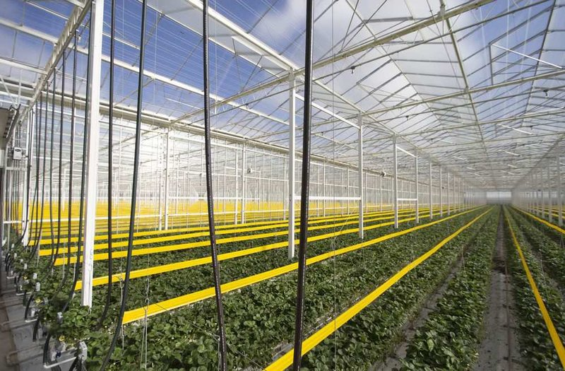 An overview of the Phase 2 section of Mucci Farms 36-acre strawberry farm expansion